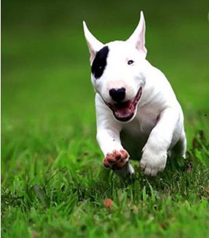 官方保障|犬舍繁殖牛头梗 包纯种健康养活 可送货上门