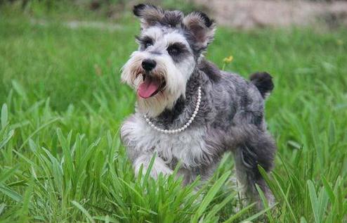 方保障|犬舍繁殖雪纳瑞 包纯种健康养活 可送货上门