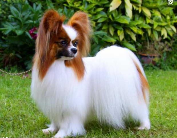 官方保障|犬舍繁殖蝴蝶犬 包纯种健康养活 可送货上门