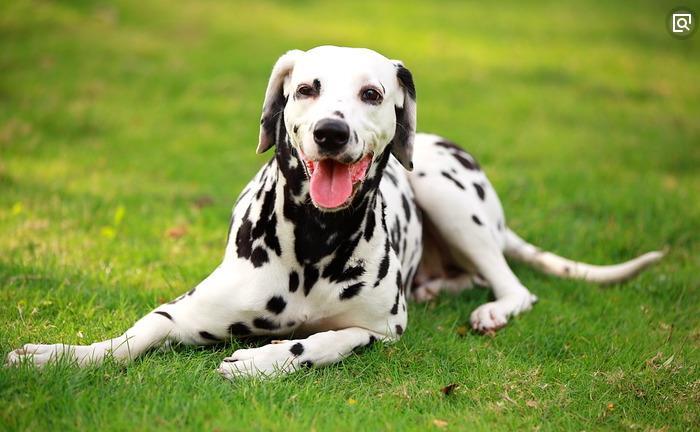 官方保障|犬舍繁殖斑点狗 包纯种健康养活 可送货上门