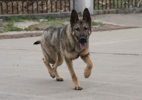 官方保障 犬舍繁殖昆明犬 包纯种健康养活 可送货上门