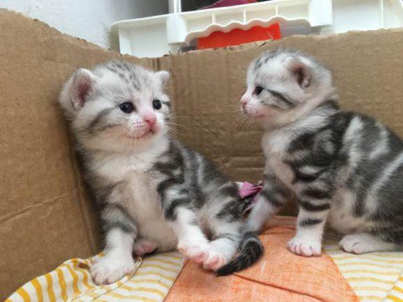 高品质美国短毛猫出售,公母均有包纯种健康