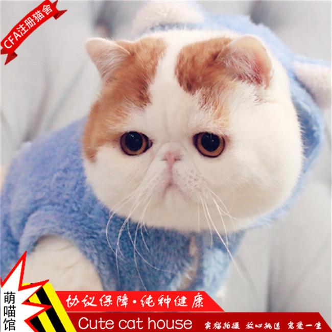 高品质加菲猫出售,公母均有包纯种健康