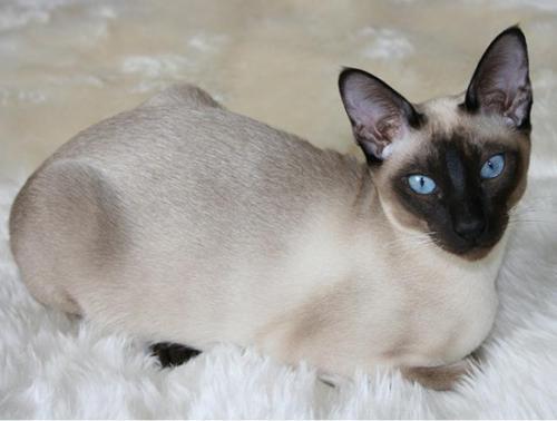 纯种缅甸猫冠军级血统品质保障 可上门挑选