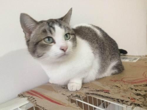 家养曼基康猫活体宠物猫优雅高贵气质带CFA证书