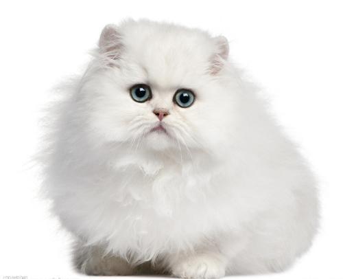 cfa认证猫舍 精品波斯猫繁殖基地 纯种繁殖猫舍