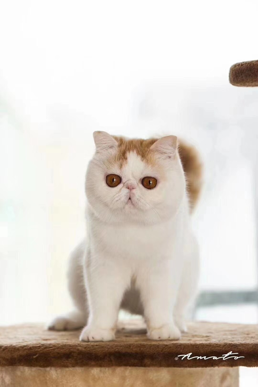 cfa认证猫舍 精品加菲猫繁殖基地 纯种繁殖猫舍