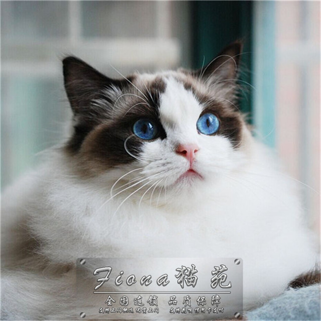 精品各种猫出售 微信电话同步18014711713