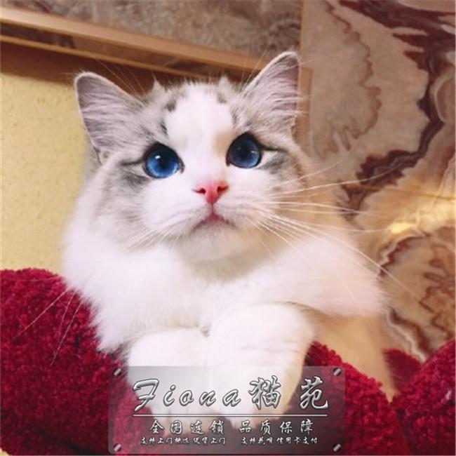 猫舍出售精品纯种布偶猫全国可以发货送货可送货