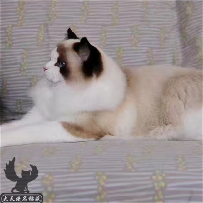 仙女猫布偶猫纯种健康猫舍家养幼猫活体可上门挑选送货上门