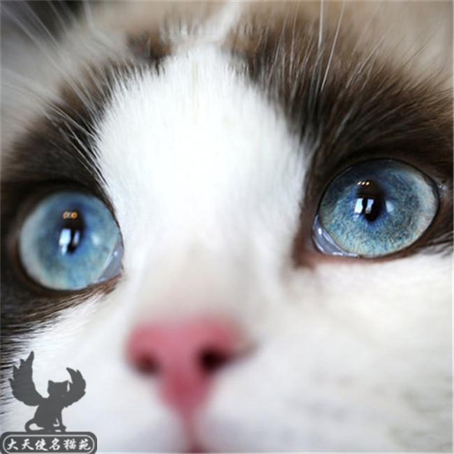 出售仙女猫幼猫活体布偶猫双色蓝眼海豹重点满耳满背纯种健康
