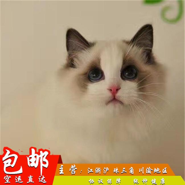 出售家养布偶猫双色蓝眼活体幼猫满耳满背纯种健康带证书