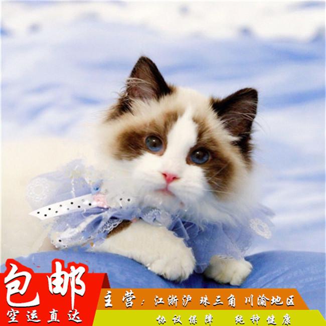 家养纯种健康布偶猫双色蓝眼幼猫活体可上门挑选带证出售2