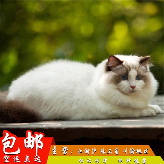 家养纯种健康布偶猫双色蓝眼幼猫活体可上门挑选带证出售7