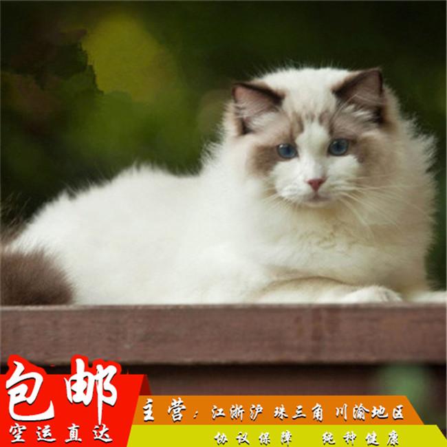 家养纯种健康布偶猫双色蓝眼幼猫活体可上门挑选带证出售5