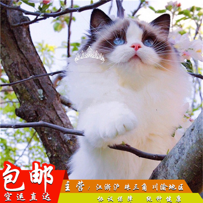 家养纯种健康布偶猫双色蓝眼幼猫活体可上门挑选带证出售