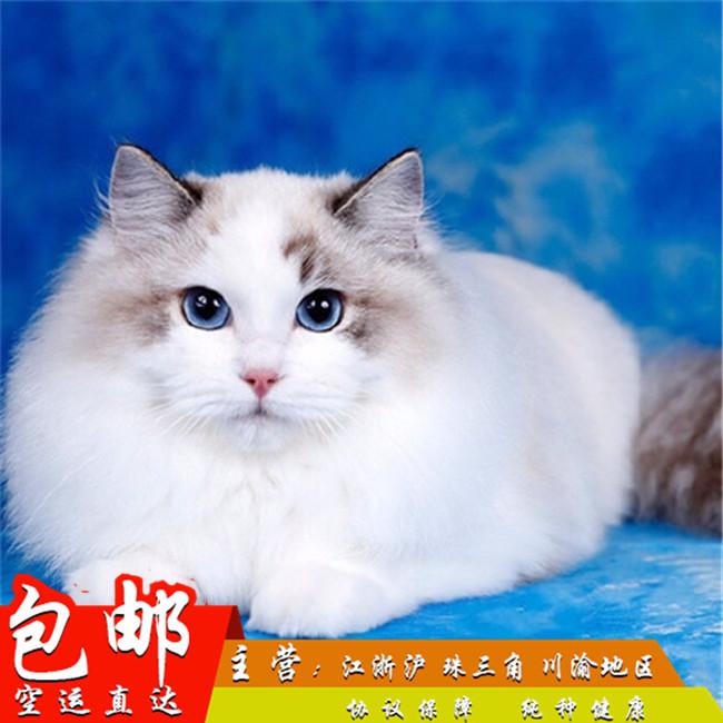 家养纯种健康布偶猫双色蓝眼幼猫活体可上门挑选带证出售8