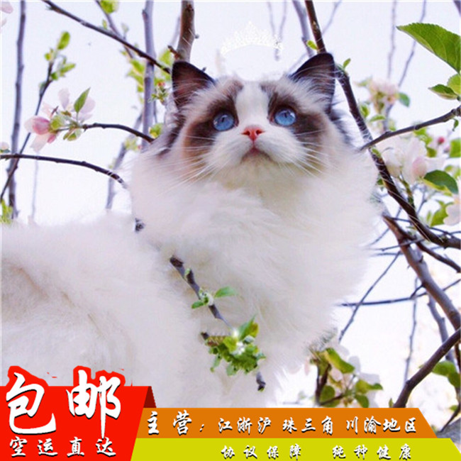 家养纯种健康布偶猫双色蓝眼幼猫活体可上门挑选带证出售3