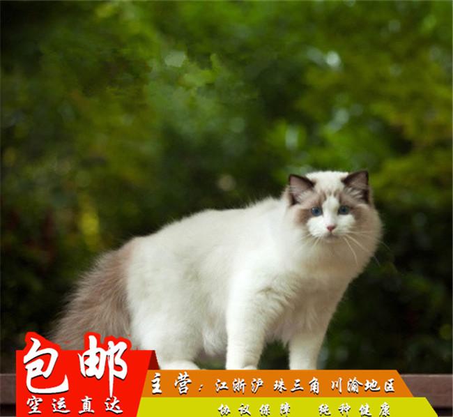 家养纯种健康布偶猫双色蓝眼幼猫活体可上门挑选带证出售6