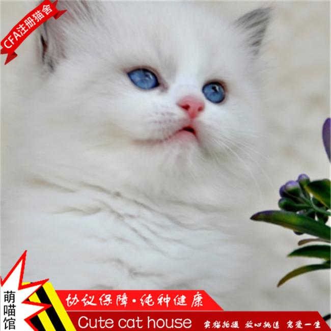 小小仙女猫布偶猫幼猫活体纯种健康无病无藓支持上门挑选
