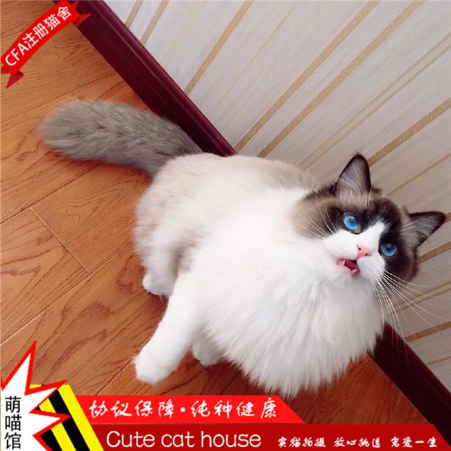 可爱健康粘人布偶猫温顺小仙女纯种健康优雅迷人CFA认证猫舍
