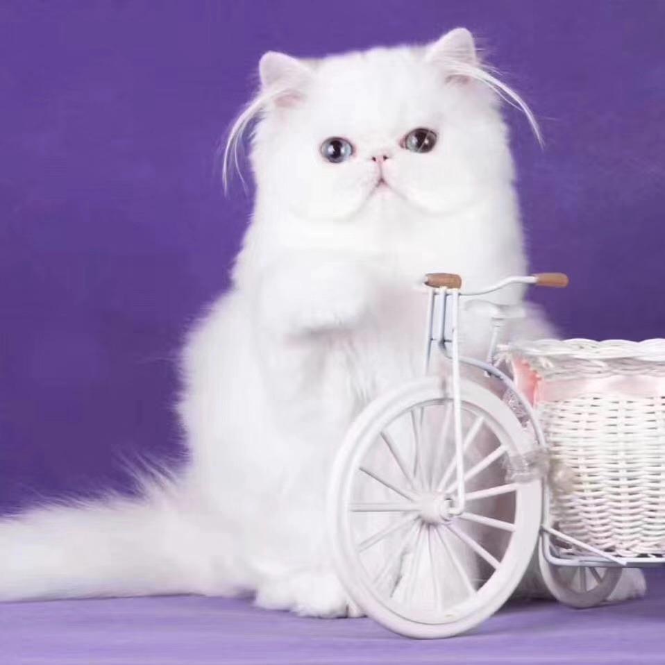 猫舍出售波斯猫包纯种保健康幼猫