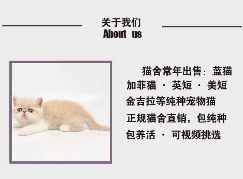正规猫舍出售缅甸猫 正规商家 签订协议 包退换6