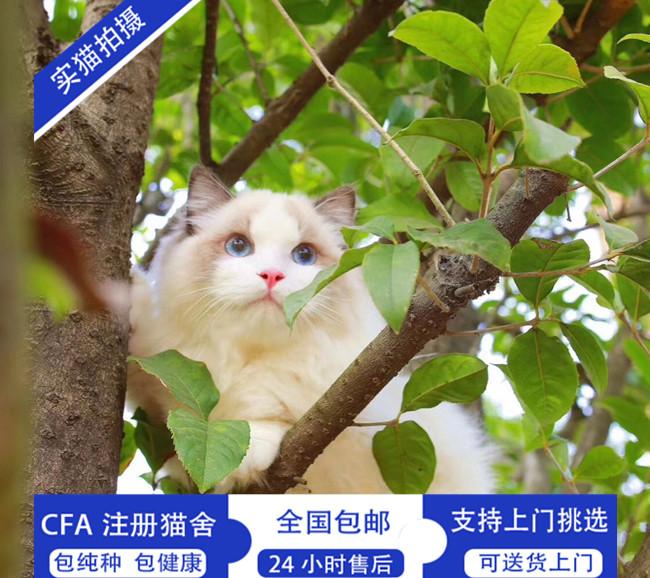 布偶猫仙女气质高贵优雅CFA认证猫舍出售布偶猫活体幼猫