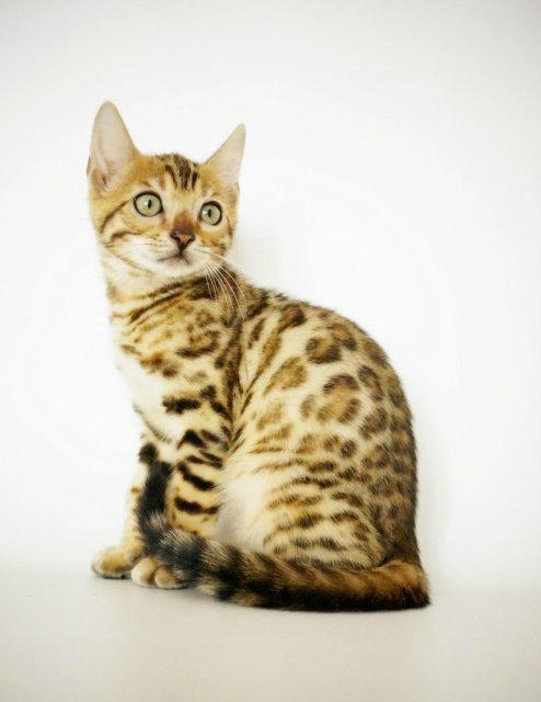 cfa认证猫舍出售豹猫幼猫 防疫做齐 包售后 教喂养