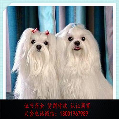 出售精品马尔济斯犬 打完疫苗证书齐全 提供养狗指导