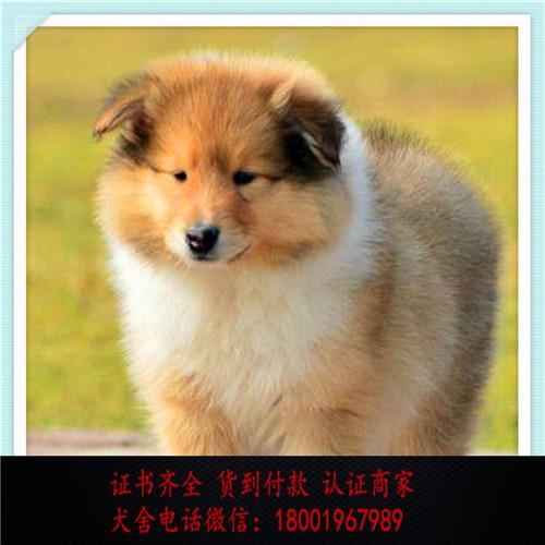 出售精品苏格兰牧羊犬 打完疫苗证书齐全 提供养狗指导