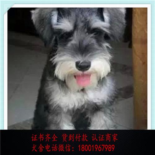 出售精品雪纳瑞 打完疫苗证书齐全 提供养狗指导