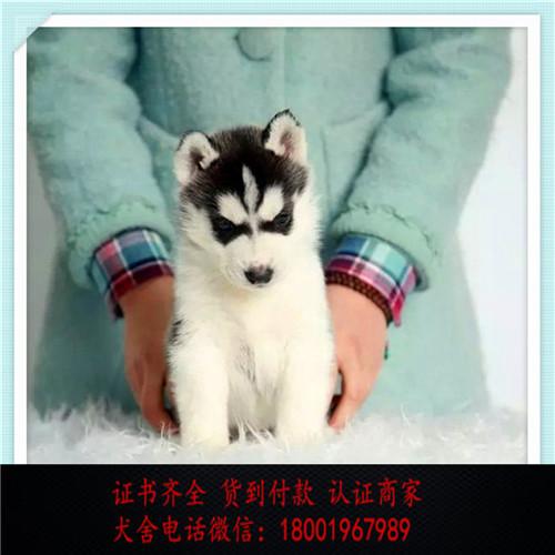 出售精品哈士奇 打完疫苗证书齐全 提供养狗指导
