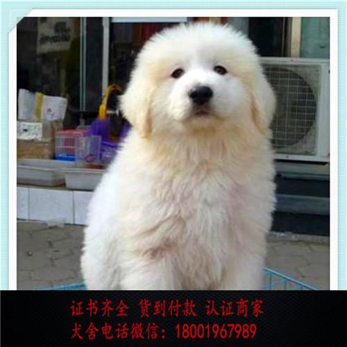 出售精品白熊犬 打完疫苗证书齐全 提供养狗指导