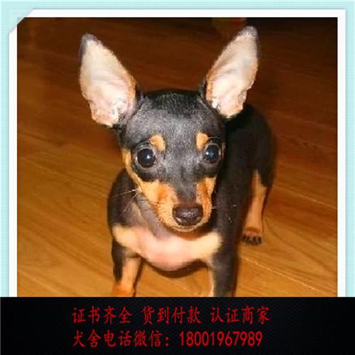 出售精品小鹿犬 打完疫苗证书齐全 提供养狗指导