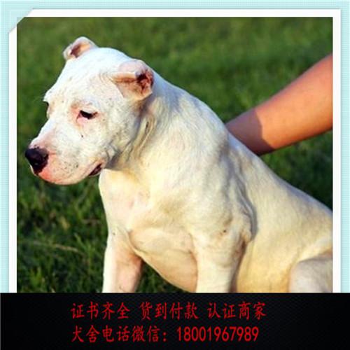 出售精品杜高犬 打完疫苗证书齐全 提供养狗指导