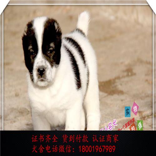 出售精品中亚牧羊犬 打完疫苗证书齐全 提供养狗指导