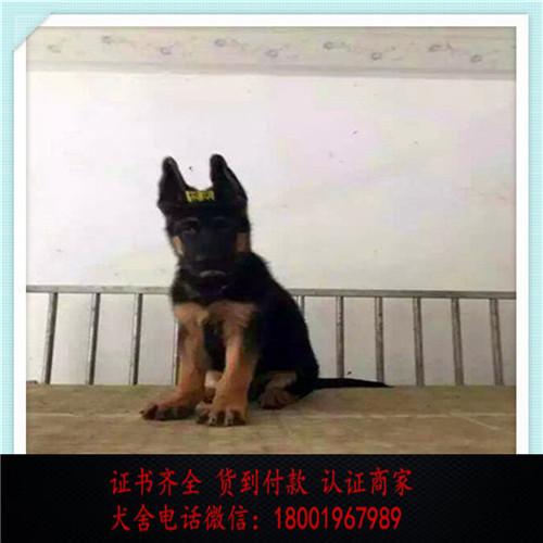 出售精品德国牧羊犬 打完疫苗证书齐全 提供养狗指导