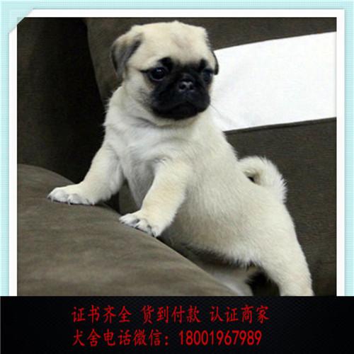 出售精品巴哥犬