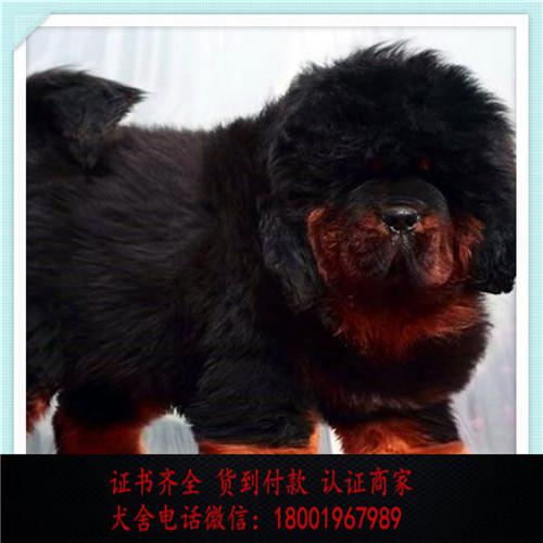 出售精品藏獒打完疫苗证书齐全 提供养狗指导