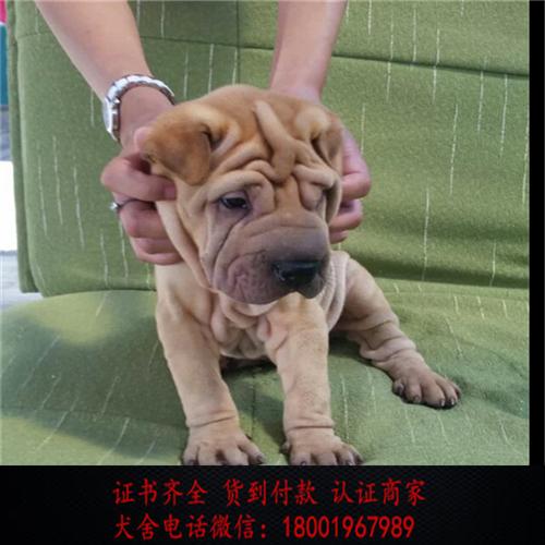 出售精品沙皮狗 打完疫苗证书齐全 提供养狗指导