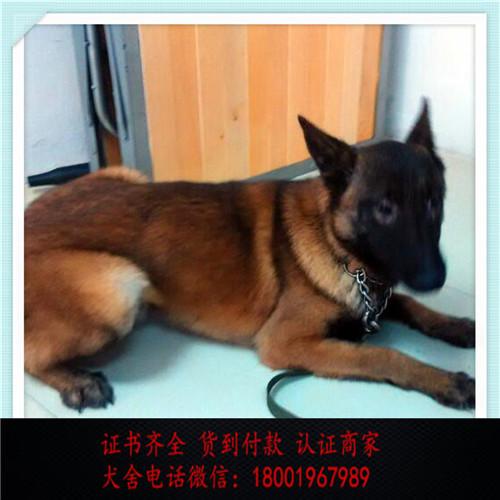出售精品昆明犬 打完疫苗证书齐全 提供养狗指导