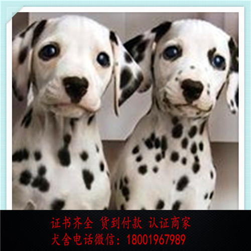 出售精品斑点狗打完疫苗证书齐全 提供养狗指导