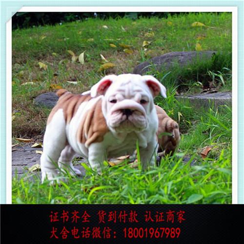 出售精品英国斗牛犬 打完疫苗证书齐全 提供养狗指导