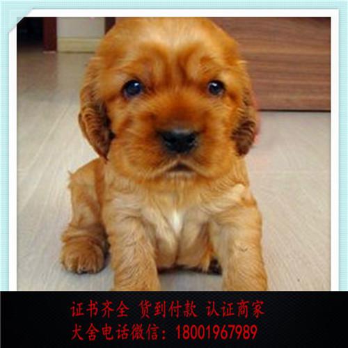 出售精品可卡犬 打完疫苗证书齐全 提供养狗指导