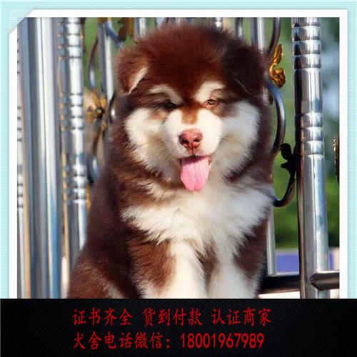 出售精品阿拉斯加打完疫苗证书齐全 提供养狗指导