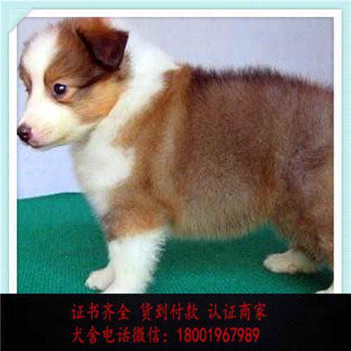 出售精品喜乐蒂犬 打完疫苗证书齐全 提供养狗指导