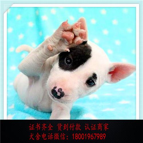 出售精品比牛头梗 打完疫苗证书齐全 提供养狗指导