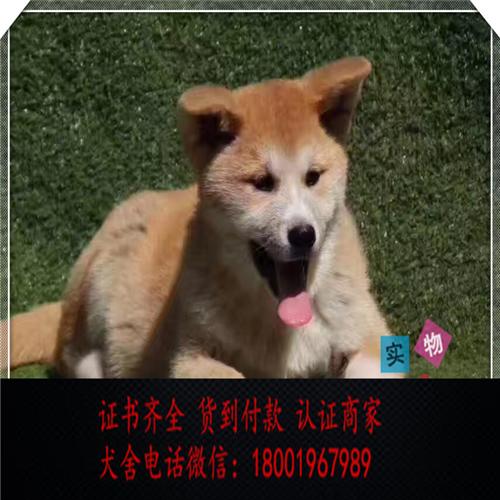 出售精品秋田犬打完疫苗证书齐全 提供养狗指导