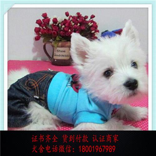 出售精品西高地犬打完疫苗证书齐全 提供养狗指导